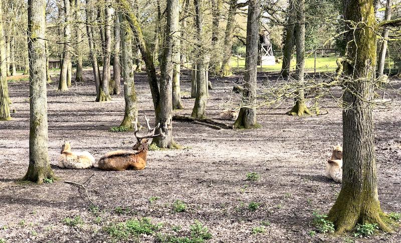 Cerfs dans la forêt au Pal