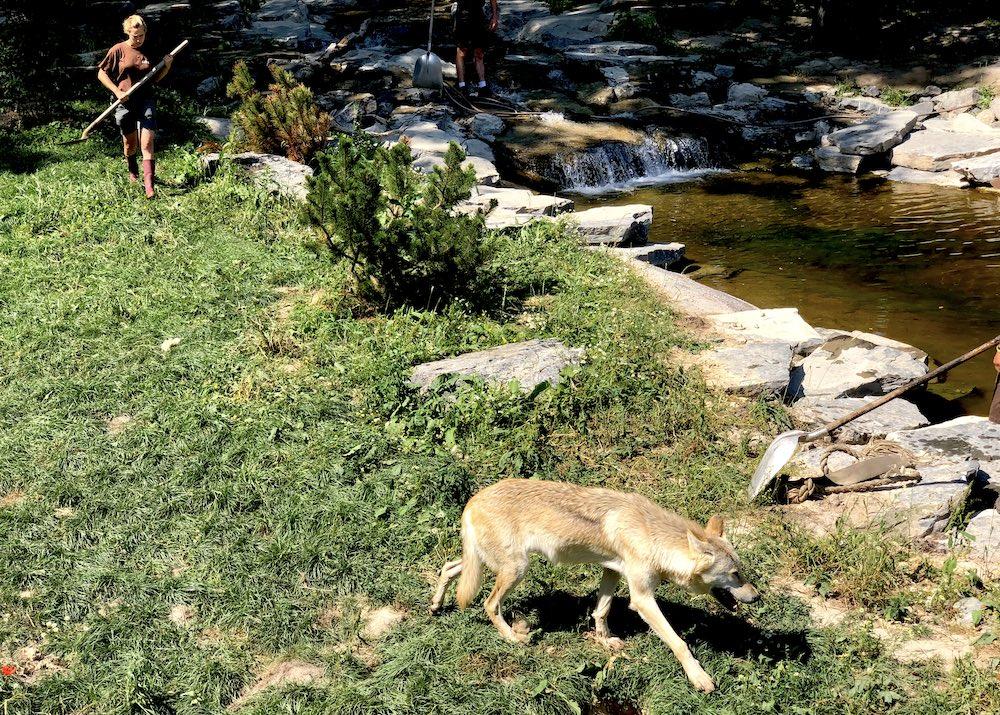 Les loups du Canada dans leur enclos en cours de finition dans la zone canadienne du Pal